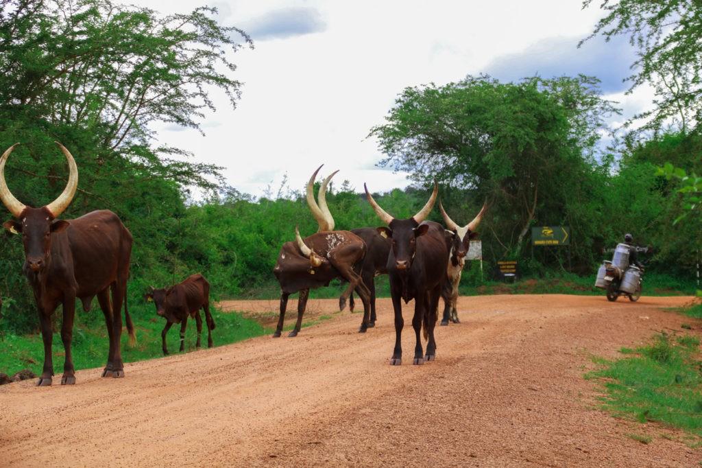 Ankole Rinder Uganda