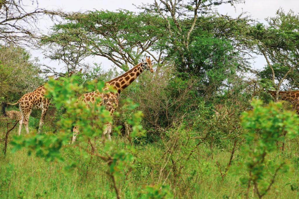 Giraffen Lake Mburo Nationalpark