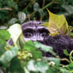 Uganda | Eine Reise zu den Berggorillas des Bwindi Impenetrable Nationalparks