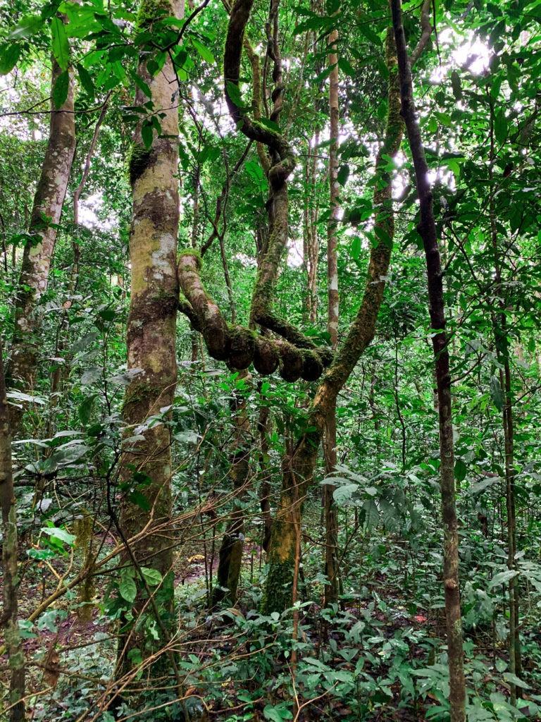 Regenwald Uganda