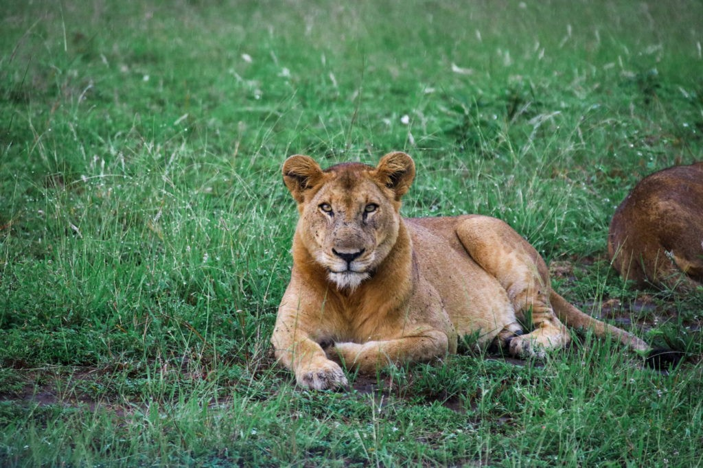 Löwe - Queen Elizabeth Nationalpark