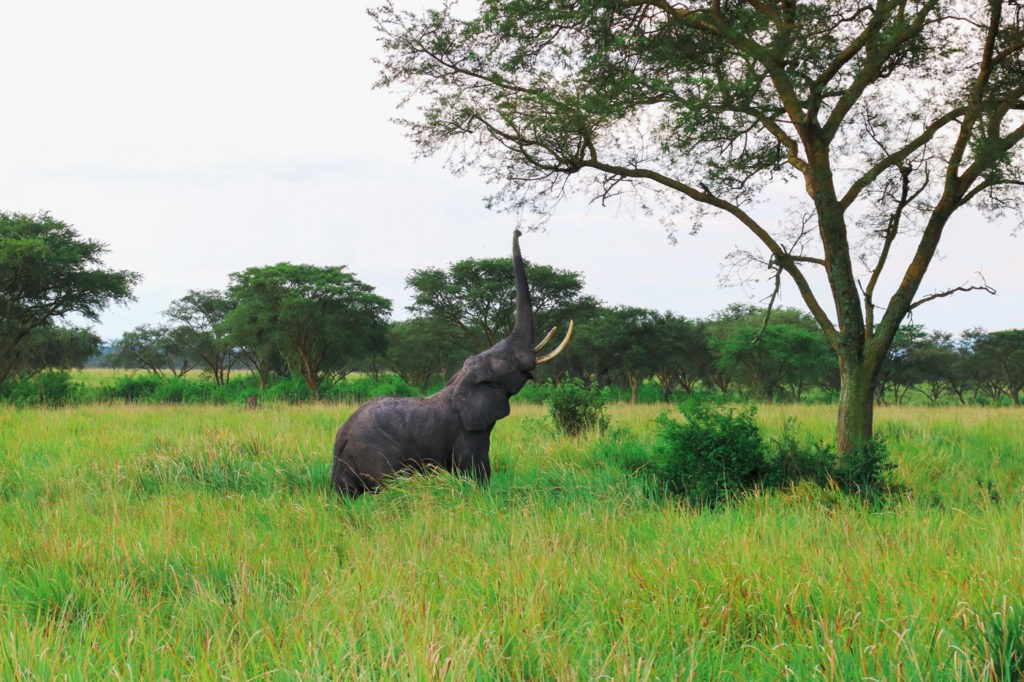 Elefant Queen Elizabeth Nationalpark