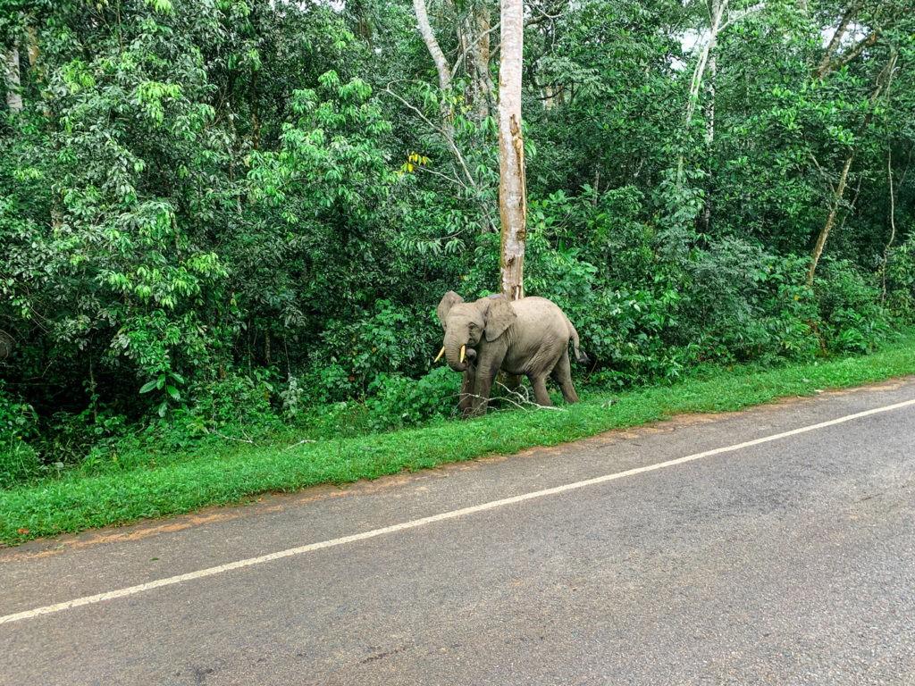 Waldelefant Uganda