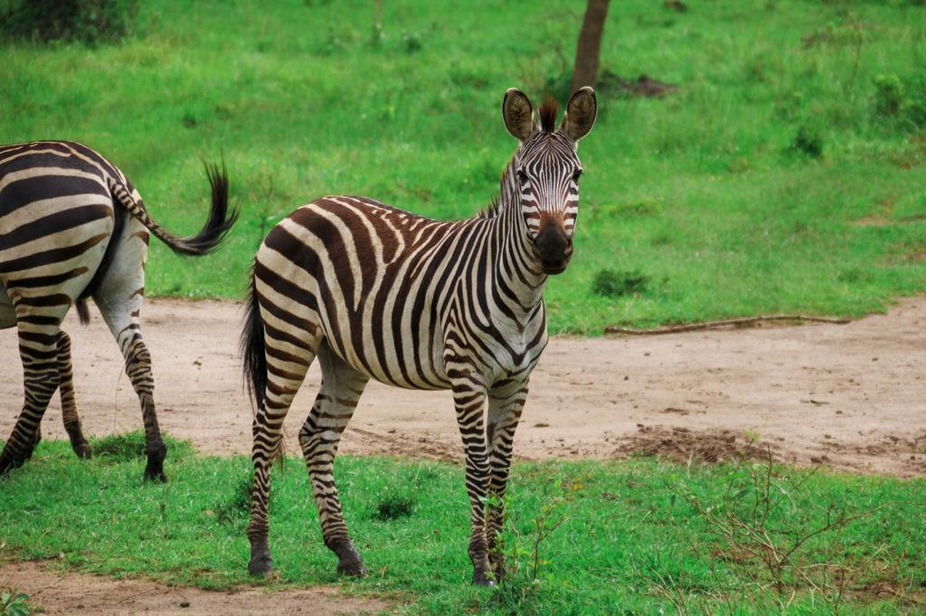 Zebra Lake Mburo Nationalpark